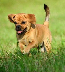 cute puppy 10 weeks Puggle Dog Designer Dog Pug and Beagle