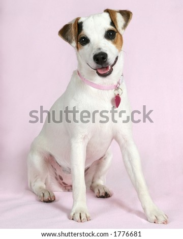 Cute puppy with pink background - stock photo