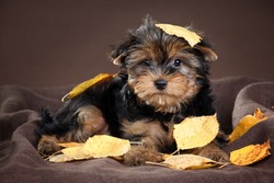 Cute puppy York on a brown background with yellow leaves