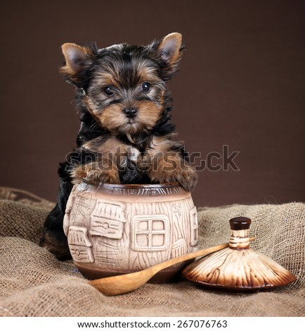 Cute Puppy Yorkshire terrier stands paws on a clay pot