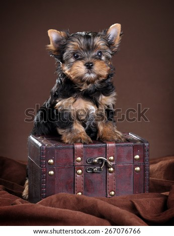 Cute Puppy Yorkshire terrier stands paws on the chest