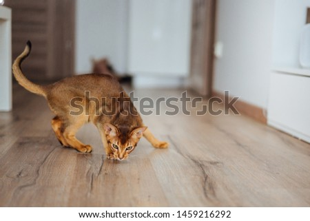 Cute purebred abyssinian kitten playing and jumping. #1459216292