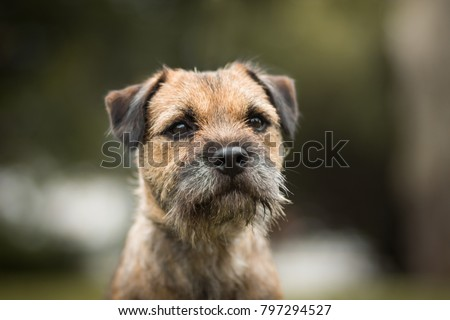 cute purebred border terrier portrait #797294527