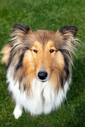 Cute purebred collie dog sitting on the lawn, portrait of looking pet, brown white patchy