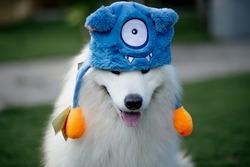 cute purebred samoyed dog fluffy