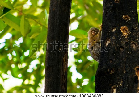 Cute Pygmy marmoset, smallest monkey on earth in Peruvian Amazon on a tree nearby Iquitos, Peru