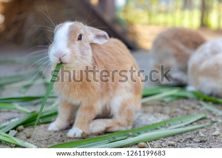Cute rabbit, Brown and white rabbit, Walking on the ground, Little rabbits are tricky in the garden, Rabbit is enjoy eating fresh glass on the ground and turn the back to other rabbits.