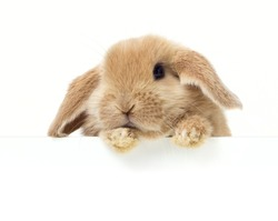 Cute Rabbit. Close-up portrait on a white background