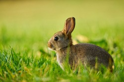 Cute rabbit hidden in the grass. Wildlife scene from nature.  Animal in the nature habitat, life on the meadow.