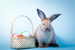 Cute rabbit, light brown fur with Easter eggs. blue background. Vertebrates are mammals. Easter concept.