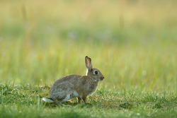 Cute rabbit sitting in the grass. Animal in nature habitat, life on meadow. European rabbit, Oryctolagus cuniculus with morning light.