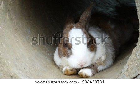 Cute rabbit sleeping in a tunnel in the farm. Rabbits are small mammals in many areas of the world, a part of daily life as food, clothing, companion, and artistic inspiration. #1506430781