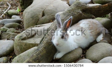 Cute rabbit sleeping in a tunnel in the farm. Rabbits are small mammals in many areas of the world, a part of daily life as food, clothing, companion, and artistic inspiration. #1506430784
