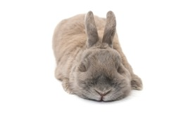 Cute rabbit with splayed ears gray sleeping isolated on white background