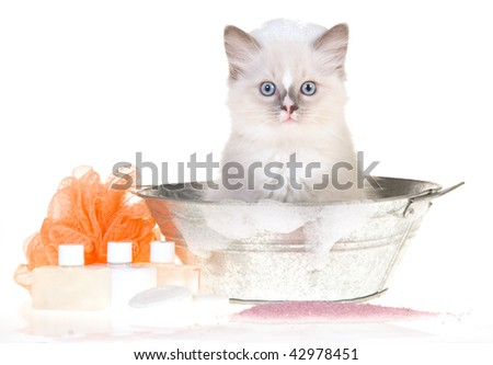Cute Ragdoll kitten in bathtub with bubbles and soaps, on white background