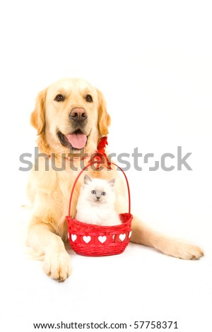 Cute Ragdoll kitten in Valentine basket with Golden Retriever on white background