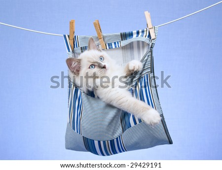 Cute Ragdoll kitten inside clothes pin bag hanging from wire against blue background