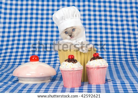 Cute Ragdoll kitten inside cupcake bowl with mini cupcakes, on blue check background