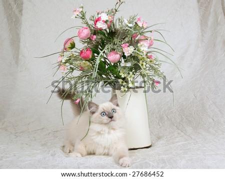 Cute Ragdoll kitten on cream white taffeta with vintage jug of pink floral bouquet arrangement