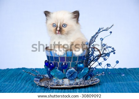 Cute Ragdoll kitten sitting inside blue decorated extra large cup on blue background