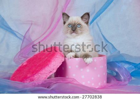 Cute Ragdoll kitten sitting inside cerise pink round gift box with faux fake fur lid