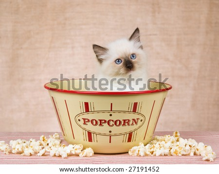 Cute Ragdoll kitten sitting inside popcorn bowl with popcorn