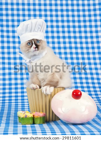 Cute Ragdoll kitten wearing chef hat and scarf sitting in cupcake bowl on blue check background