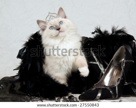 Cute Ragdoll kitten wearing diamond tiara with stiletto shoes, black feather boa, jewelry, evenining, purse, bag,