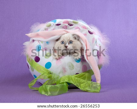 Cute Ragdoll kitten wearing pink bunny ears, sitting inside colorful Easter egg on lilac purple background
