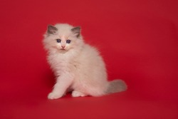 Cute ragdoll kitten with blue eyes sitting on a red background