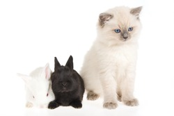 Cute Ragdoll kitten with two bunnies, on white background