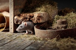 Cute rat in an old wooden barn with hay.