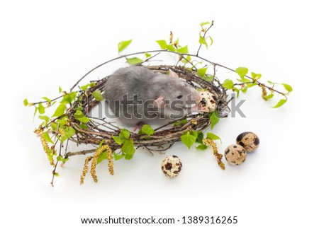 Cute rat on a white isolated background. Nest of birch branches. Next to the nest are quail eggs. Pets, rodents. Spring mood. Easter picture. A rat holds an egg and eats it.