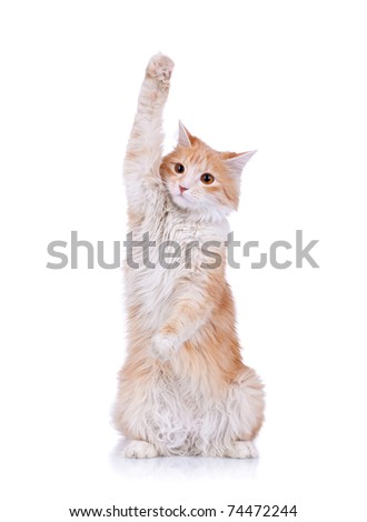 cute red and white cat waving to the camera, over white