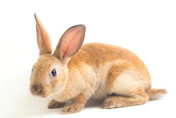 Cute red  brown rex rabbit isolated on white background