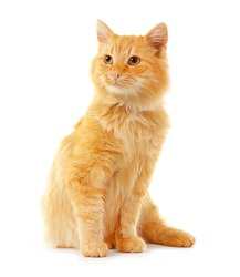 Cute red cat isolated on white background