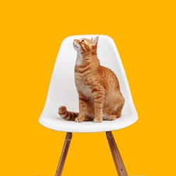 cute red cat sits on a white chair on a yellow background