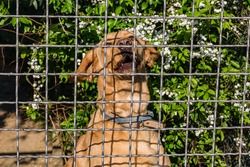 Cute red dog howls near the iron bars of the fence