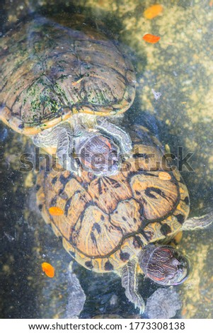 Cute red-eared slider (Trachemys scripta elegans), also known as the red-eared terrapin, red-eared slider turtle, red-eared turtle, slider turtle, and water slider turtle