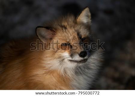 Cute Red Fox at Miyagi,Japan #795030772