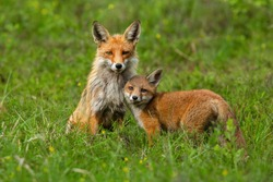 Cute red fox, vulpes vulpes, cub nestling to her mother on green grass in springtime. Adorable animal family in wilderness. Mammal offspring touching her guarding mother.