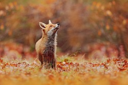 Cute Red Fox, Vulpes vulpes in fall forest. Beautiful animal in the nature habitat. Wildlife scene from the wild nature, Germany, Europe. Cute animal in habitat. Red fox running on orange autumn leave