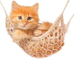 Cute red haired kitten lay in hammock on a white background.