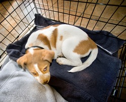Cute red heeler puppy resting in his crate.