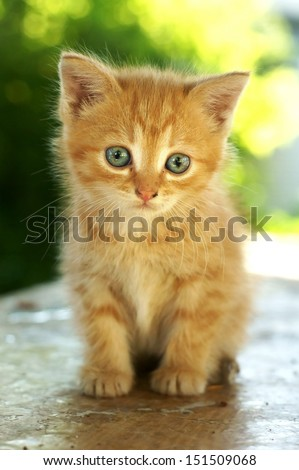 cute red kitten with blue eyes sitting on wooden table against green summer bokeh