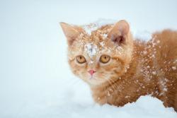 Cute red little kitten sitting in snow in winter