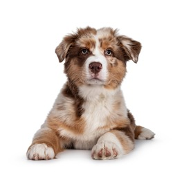 Cute red merle white with tan Australian Shepherd aka Aussie dog pup, laying down facing front. Looking towards camera, mouth closed. Isolated on a white background.