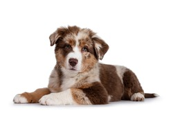 Cute red merle white with tan Australian Shepherd aka Aussie dog pup, laying down side ways. Looking towards camera, mouth closed. Isolated on a white background.