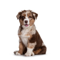 Cute red merle white with tan Australian Shepherd aka Aussie dog pup, sitting on ass facing front. Looking towards camera, tongue out. Isolated on a white background.