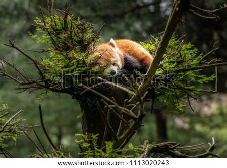Cute red panda dozing in the branches at the top of a tree in Central Park